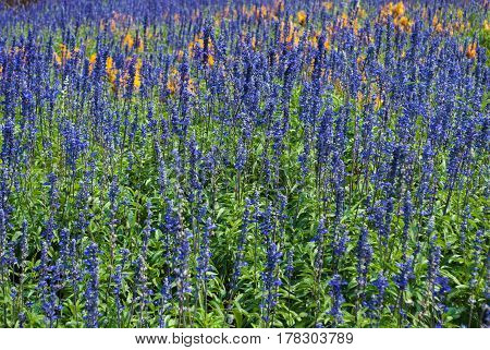 Beautiful Lavandula/ Lavandula Angustifolia Flower Garden .