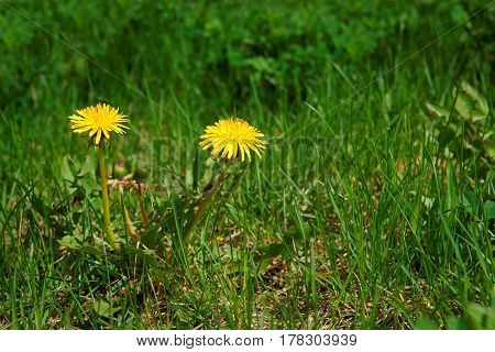 Dandelion (Taraxacum officinale) flowers in the meadow as background spring. A dandelion flower head composed of hundreds of smaller florets