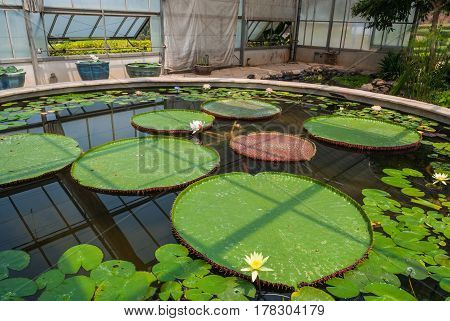 Victoria Lotus/ Nymphaea Lotus/ Nymphaeaceae In Glass Building