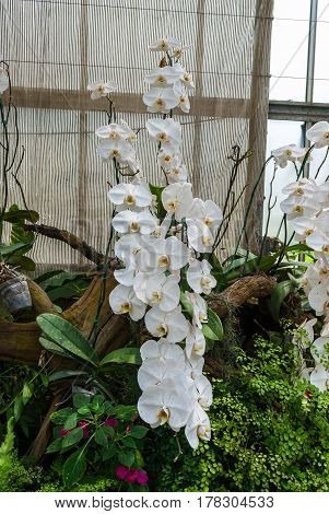Closeup To Group Of Beautiful Tropical White Phalaenopsis Aphrodite Orchid