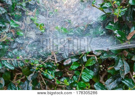 Closeup to Spider Web on Fresh Green Leaves Background