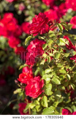 Beautiful Bush Of Red Roses In A Spring Garden. Red Roses. Blooming Garden. Spring. Summer.