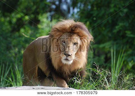 Gorgeous solemn face of a large male lion.