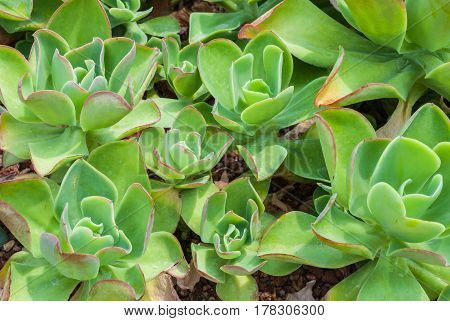 Closeup To Rose Shaped Echeveria Agavoides/ Pulidonis, Succulent And Arid Plant