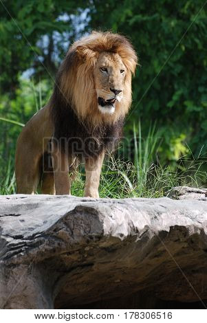Gorgeous lion posing on a rock looking like the King of the Jungle.