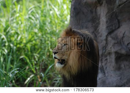 Beautiful lion with his head slightly turned.