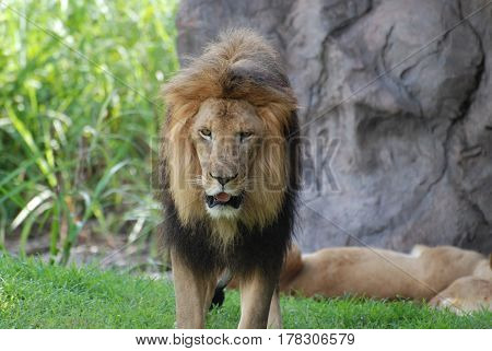 Very expressive male lion roaming around a grass area.