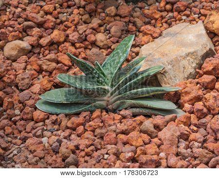 Closeup To Gasteria Pillansii, Succulent And Arid Plant