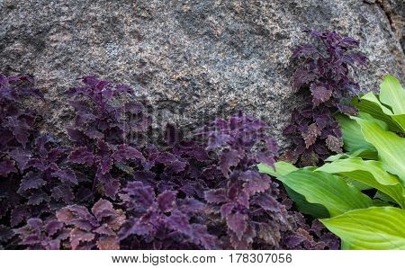 Purple coleus and green hosta in the flowerbed near the gray stone.