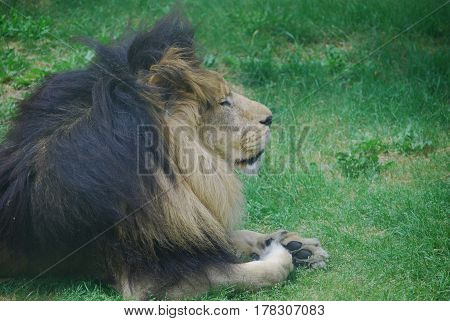 Lion sleeping in the green thick grass.