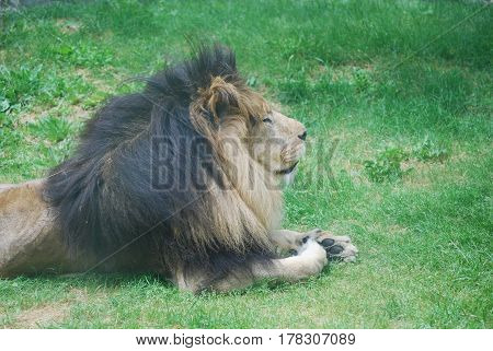 Lion laying in grass resting on a summer day.