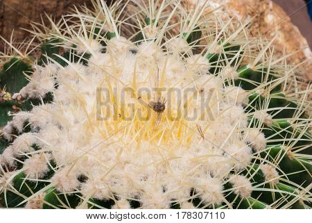 Closeup To Dried Corpse Of Insect On Top Of Echinopsis Calochlora Cactus, Succulent And Arid Plant