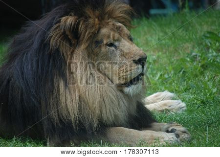 Large male lion dozing in the warm summer sun.