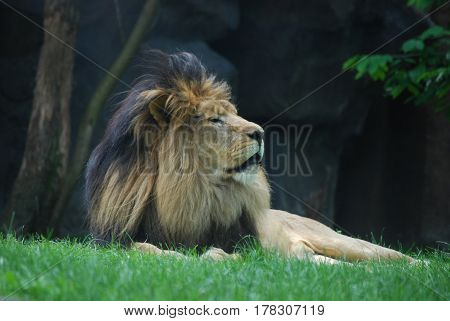 Lion sleeping in a green grass under a tree.