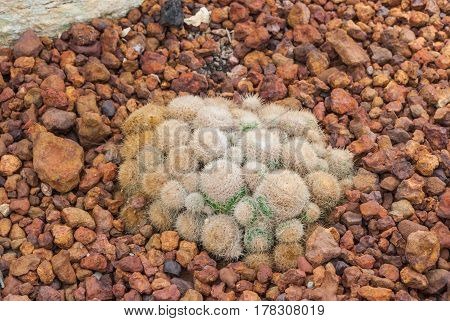 Closeup To Group Of Mammillaria Hahniana Cactus/ Cactaceae, Succulent And Arid Plant
