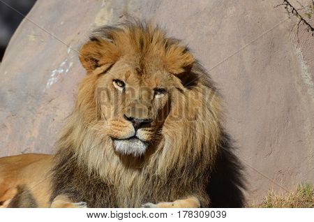 Gorgeous male lion's face basking in sunshine.