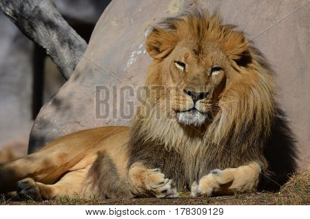 Beautiful golden lion resting against a large rock in the summer.