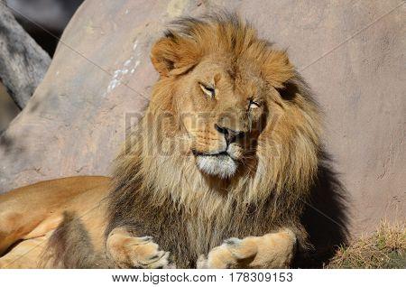 Beautiful sleeping African Lion on a warm summer day.