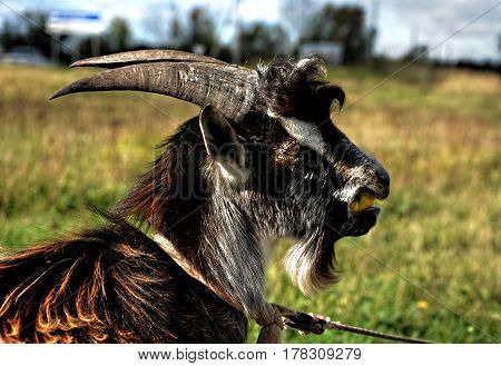 goat mottled with black spots and large sharp horns eating an Apple