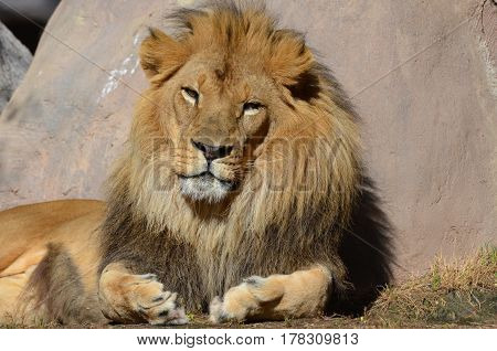 Gorgeous face of a resting African lion leaning against a large rock.