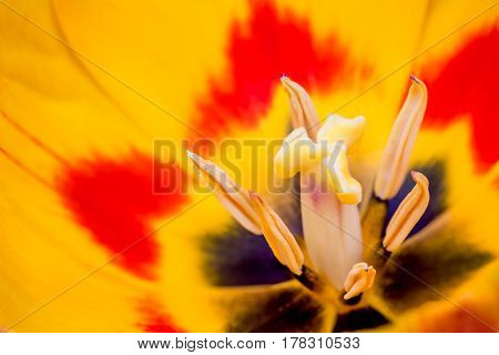in close up the pistil of a tulip