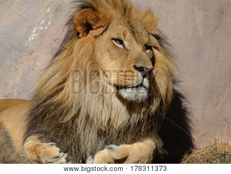 African lion resting in the warm sunshine on a summer day.