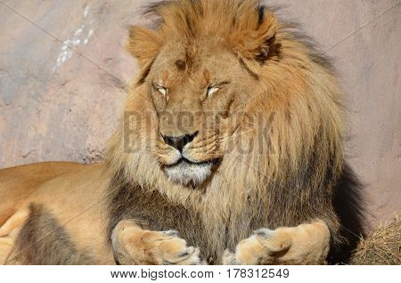 Gorgeous African lion with a very thick fur coat.