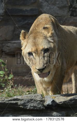 Lioness with his tongue peaking out of her mouth.