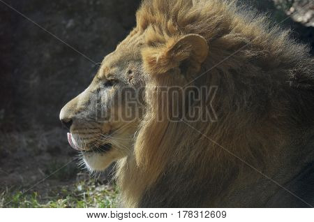 Beautiful male lion with his tongue peaking out.