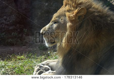 Profile of an African male lion sleeping on a summer's day.