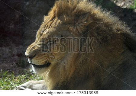 Gorgeous lion with a wrinkled nose with his eyes closed.
