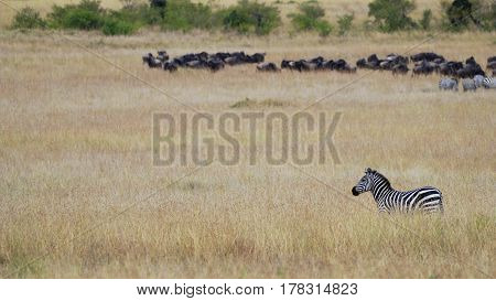 Zebra standing in the grass of the African savanna against the background of the herd of wildebeest gnu Keniya