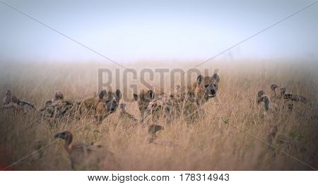 group of hyenas and vultures eating the remains of the animal in the grass Kenya