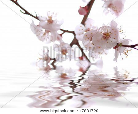 Sakura (japanese Cherry Tree) In Blossom Time Reflecting In Wate