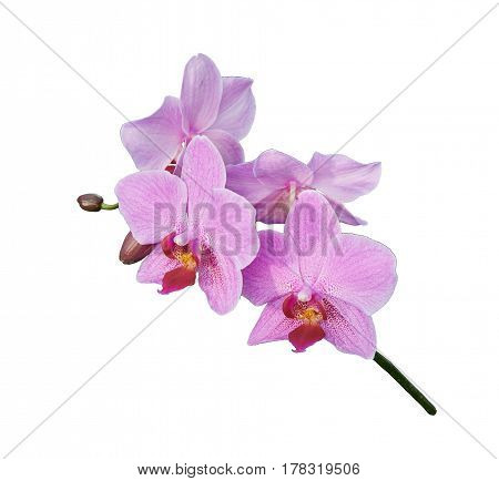 Pink white orchids (Latin Orchidaceae). Isolated on a white background