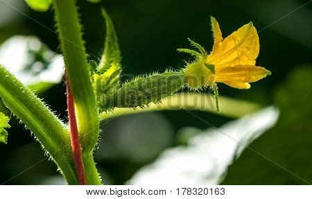 the little green gherkin for cucumber plant in the macro regime the Sunny weather in the morning