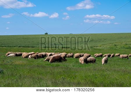 Livestock farming. Flock of sheep. Sheep grazing in grass. sheep farm