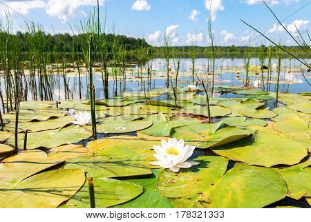 Summer landscape with water lily flowers in sunny day