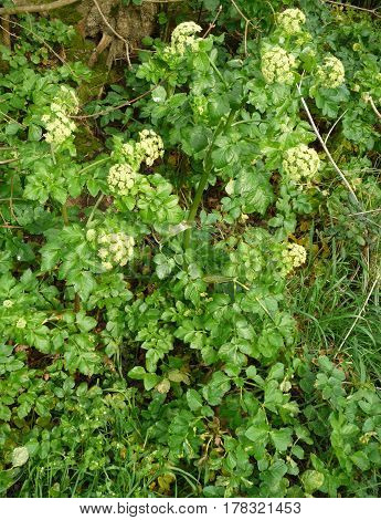 Alexandrium, loveage, cow parsley, Alexandria, coastal plants