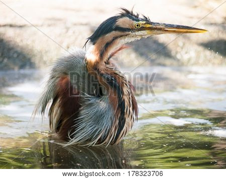 Puprple heron having bath in pond - Ardea purpurea