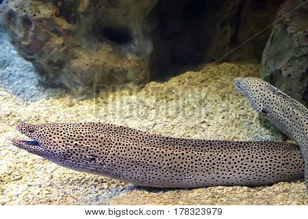 Moray is a very strong and dangerous sea creatures the mortal danger for divers.
