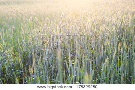 Field of green rye (Secale cereale) in a sunshine.
