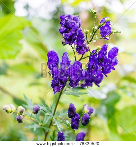Blue flowers of aconitum wet after the rain. Close-up.