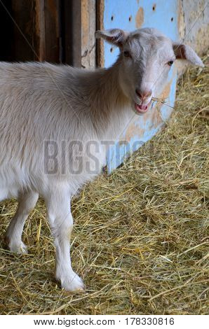 White goat chews hay - a pet on the farm