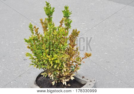 Boxwood Diseases. Boxwood Problems - Reasons For Boxwood Turning Yellow Or Brown. Identifying Diseases In Buxus