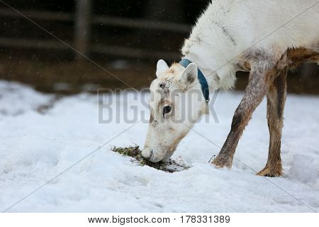 a reindeer graze on a farm and eating moss