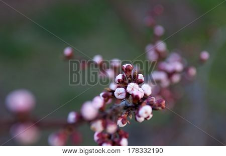 Pink flower buds of the apricot tree in early spring. Apricot blossom. Close up.