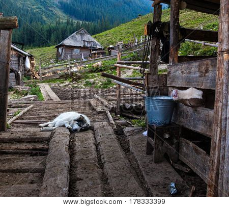 The farm in the Ukrainian Carpathians. Calf in a pen and a sleeping sheepdog.