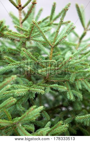 Green Prickly Branches of a Fur-Tree on Nature Background.