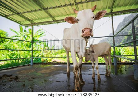 White cow and her calf inside the paddock.